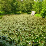 lipnik park - the lake with the water flowers