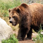 an eco route dedicated to the brown bear - the lord of the mountains